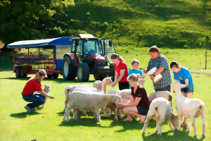 Feeding sheep at the Agrodome