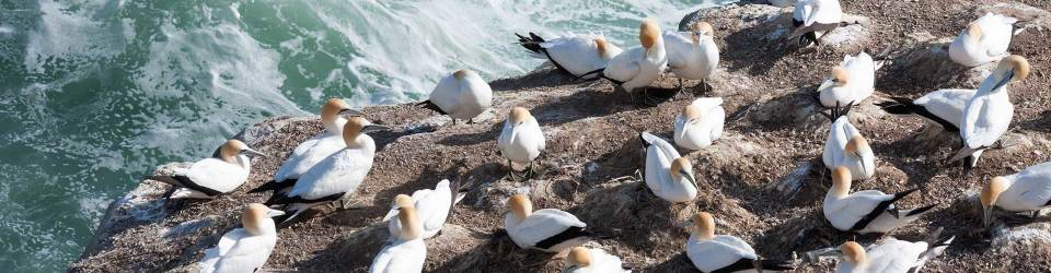 Gannet colony, wildlife and national parks, New Zealand