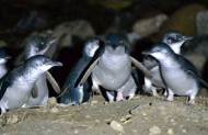 Blue Penguin Viewing Tour