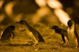 Oamaru Blue Penguin Colony Premium Evening Viewing