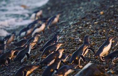 Oamaru Blue Penguin Colony Premium Evening Viewing