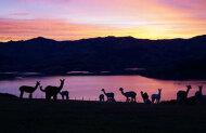 Shamarra Alpaca Farm Tour