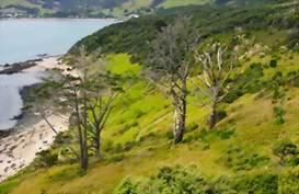 Kauri Trees in the North
