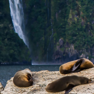A group of fur seals relax in Milford Sound