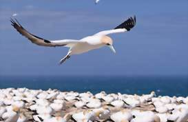 Gannet in flight at Cape Kidnappers