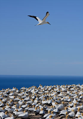 Gannet colony, Napier, Hawkes Bay, New Zealand