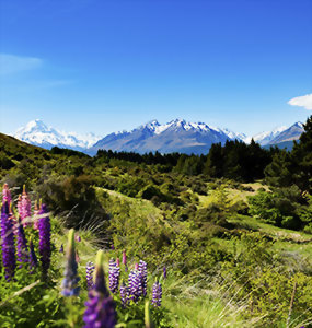 View over the lupins to Mt. Cook