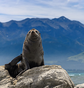 Seal on A rock in Kaikoura