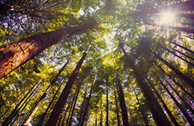 Wander through the Redwood forests of Rotorua