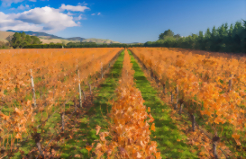 Autumn colors in a Martinborough vineyard