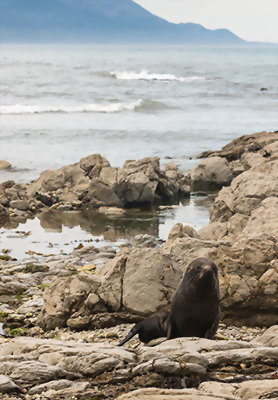 Fur seal, Kaikoura, New Zealand