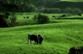Lush green fields in Waikato