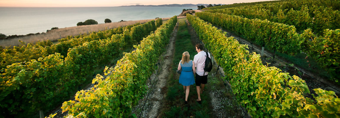 Vineyard in the Bay of islands