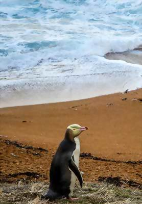 Yellow-eyed penguin, Dunedin, New Zealand