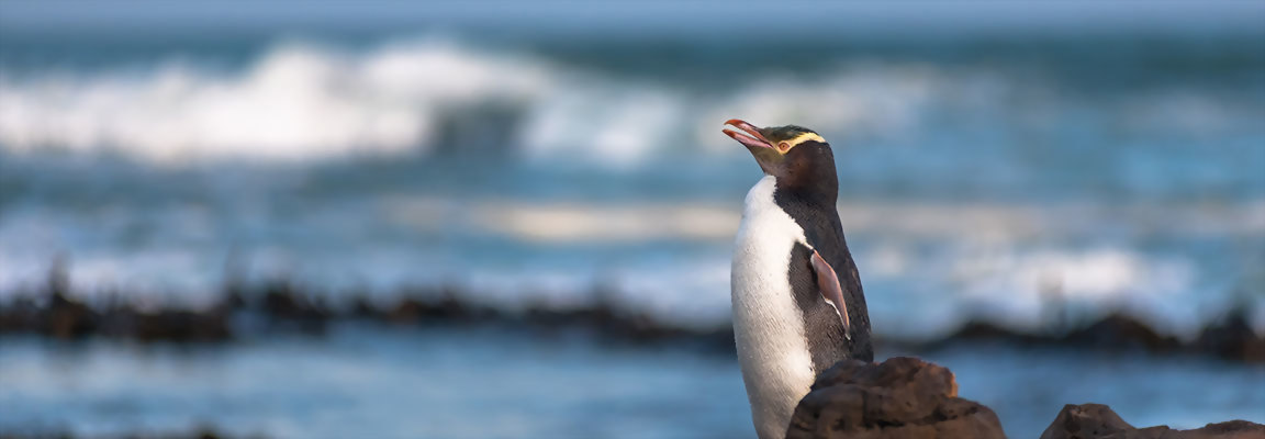 Yellow Eyed Penguin on New Zealand beach
