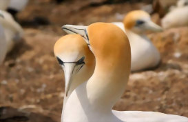 Gannets Nesting at Cape Kidnappers