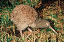 The Kiwi, New Zealand's iconic bird and namesake
