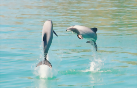 Dolphins jumping in Akaroa Harbour near Christchurch