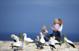 Visit to the gannet colony, Cape Kidnappers, Hawkes Bay