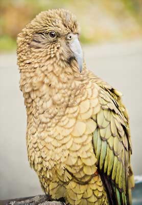 Kea, Arthur's Pass National Park, New Zealand
