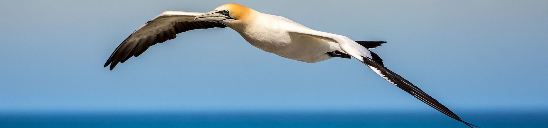 Gannet soaring in the sky off coast of New Zealand